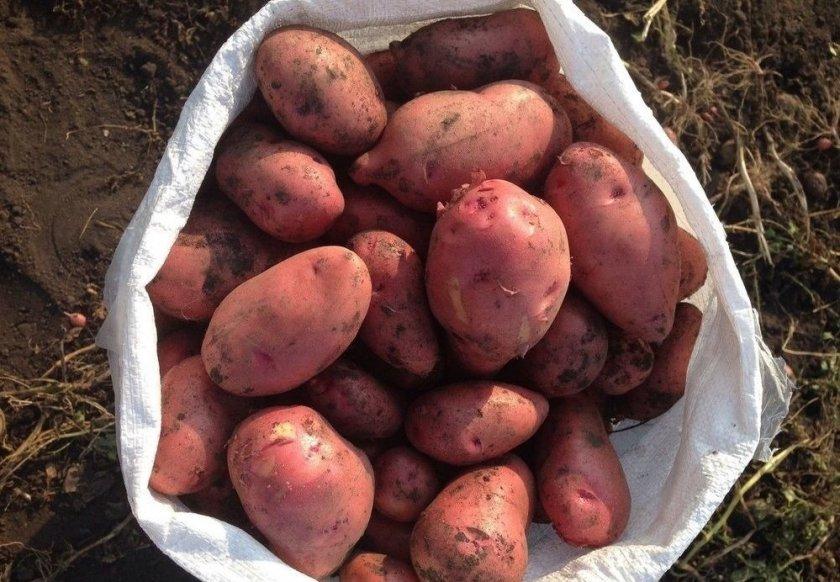 Превосходство и недостатки сорта картофеля