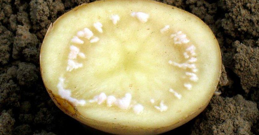 Плесень картофеля