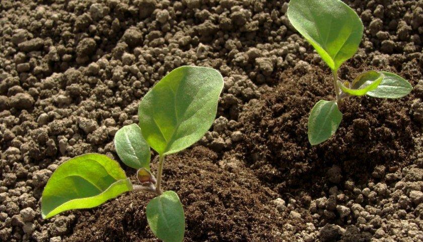 Почва для баклажана