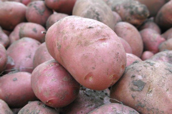 Описание сорта картофеля Манифест его характеристика и урожайность