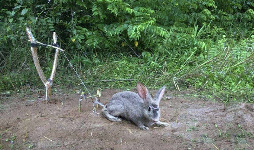 Силки для кролика