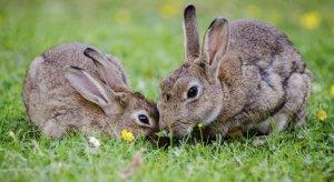Сколько кролики вынашивают крольчат