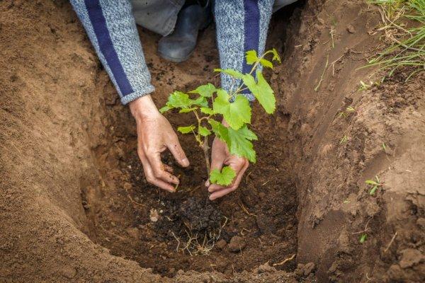 Посадка винограда когда и как правильно сажать саженцы осенью