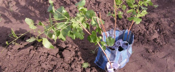 Как посадить виноград весной саженцами и черенками: особенности весенней посадки