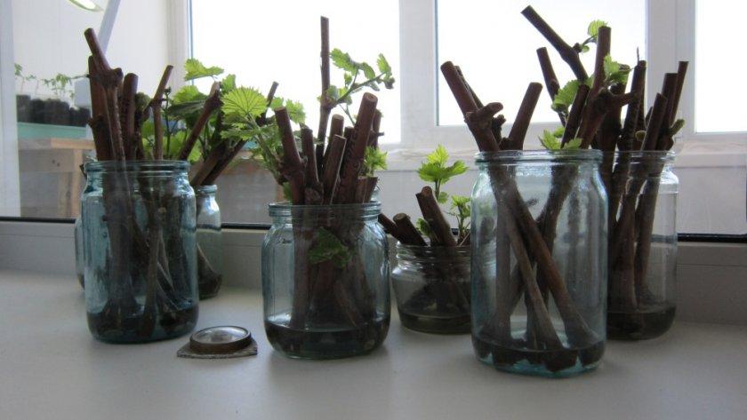 Как правильно посадить виноград чубуками осенью