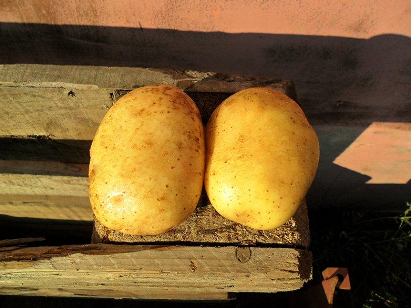 Посадка и выращивание картофеля уладар