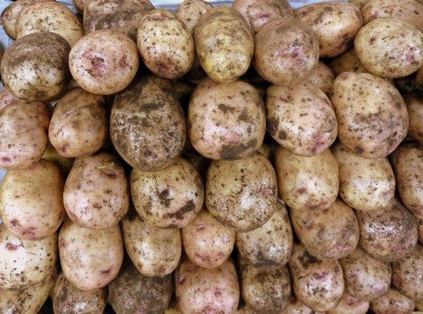 идет речь картофель синеглазка описание сорта фото младшая