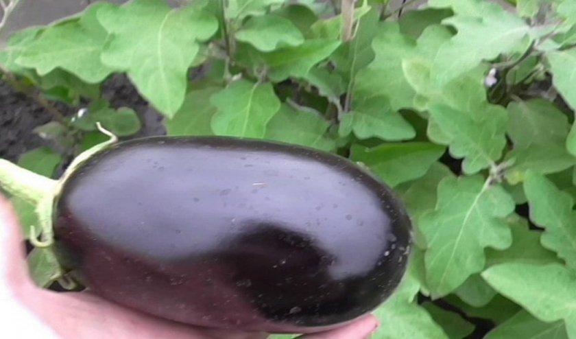 Баклажан Клоринда