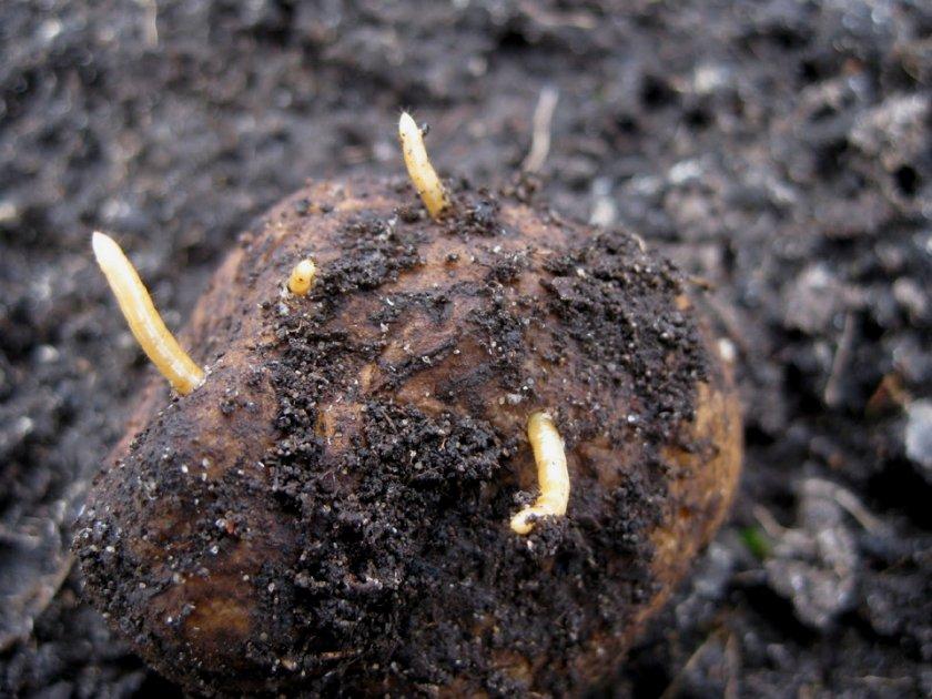Проволочники в картошке