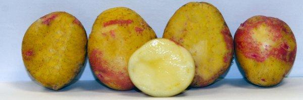 Сорт картошки пикассо описание сорта