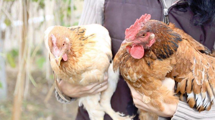 Яйценоскость курицы