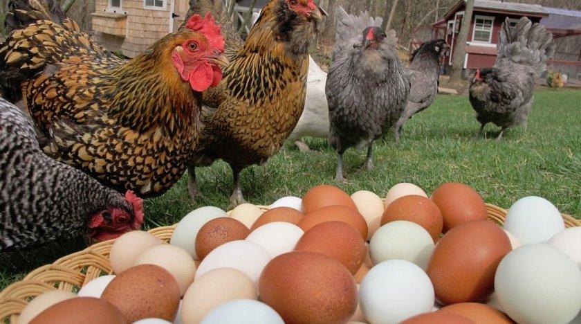 Яичные породы кур