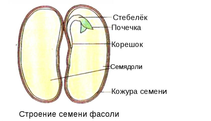 Зародыш фасоли