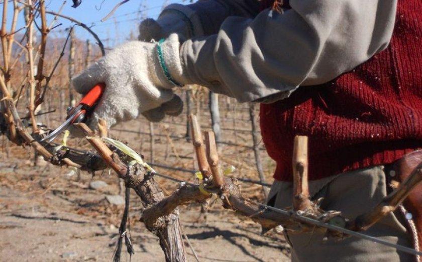 Для чего производится обрезка винограда осенью