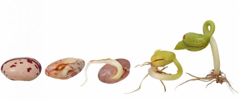 Проросшие семена фасоли