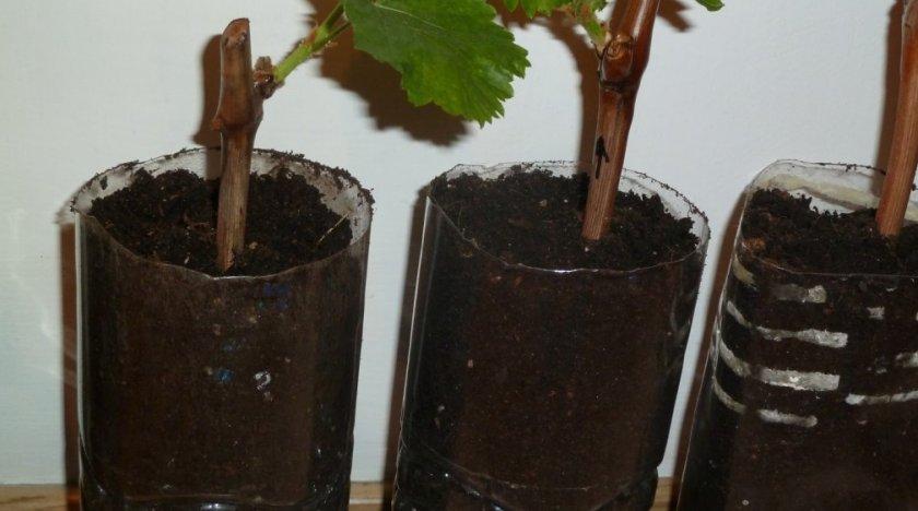 Проращивание черенков в грунте