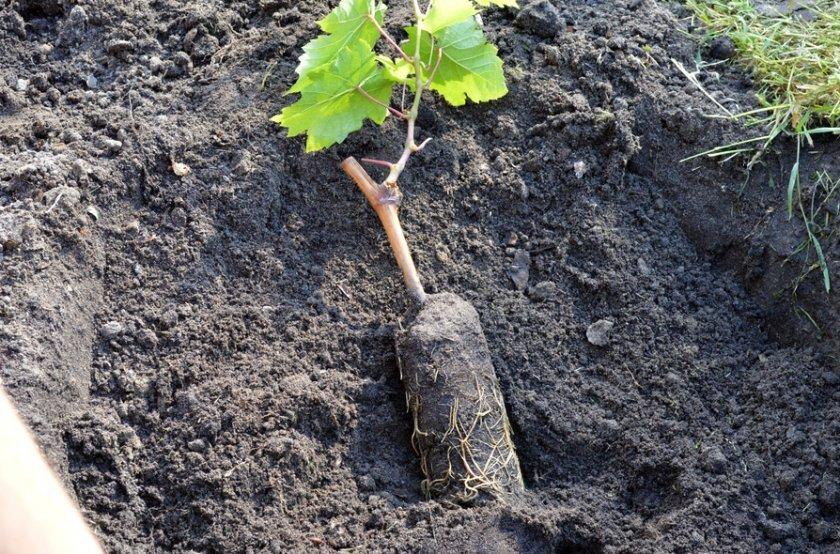 Высаживание саженцев винограда