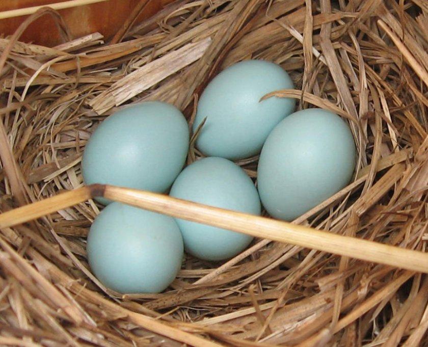 Яйца породы кур Ухейилюй