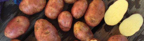 Картофель рябинушка характеристика сорта отзывы – Картофель Рябинушка: описание, характеристика сорта, отзывы — Стартовая