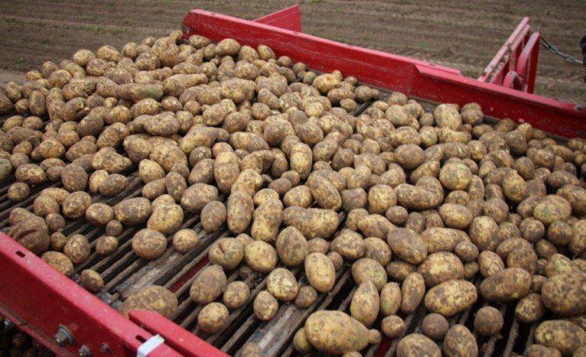 Урожай картофеля янка