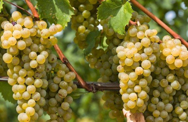 Посадка винограда черенками осенью дома