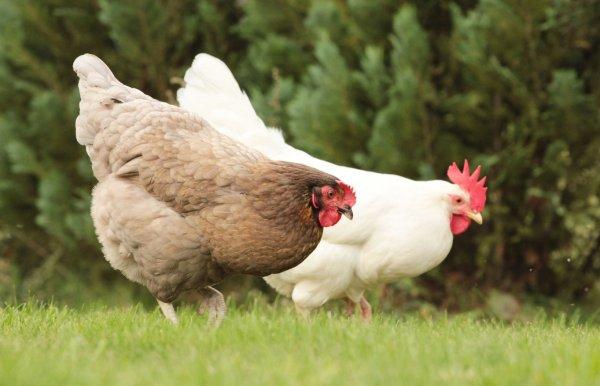 Курица на даче летом