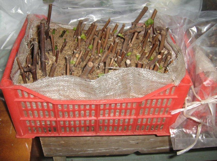 Хранение черенков винограда