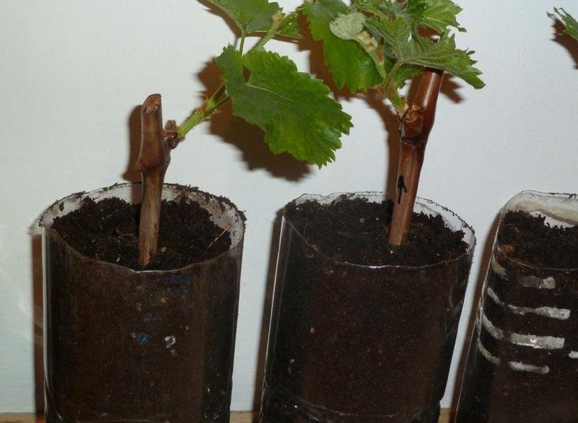 Укоренение виноградных черенков в грунте