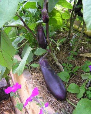 Селекция и ботаническое описание культуры