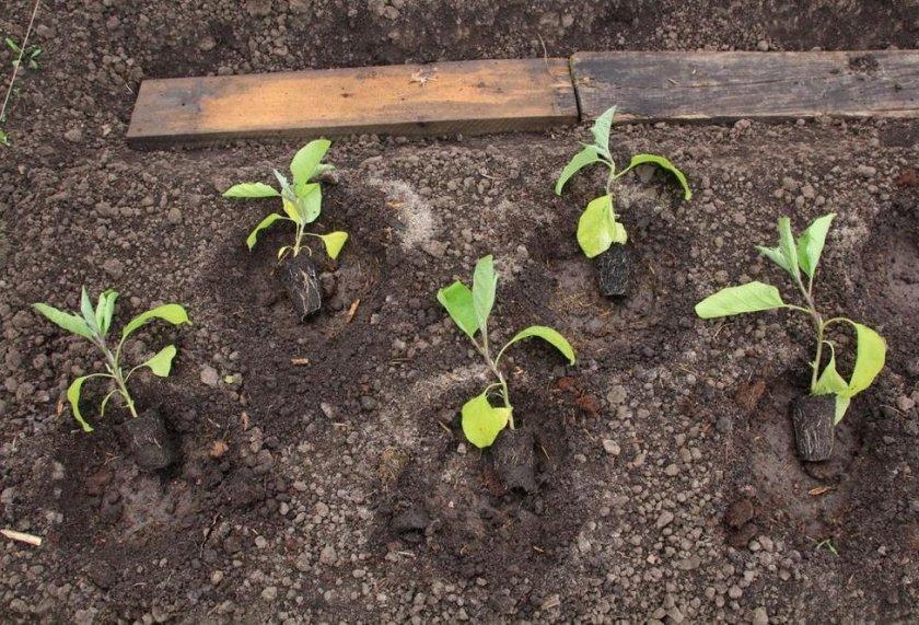 Как пересадить рассаду на постоянное место