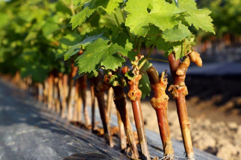 Чубики винограда