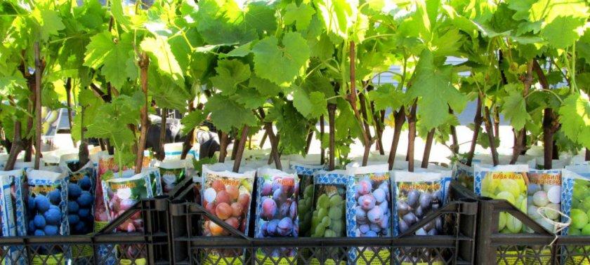 Выбор виноградных саженцев
