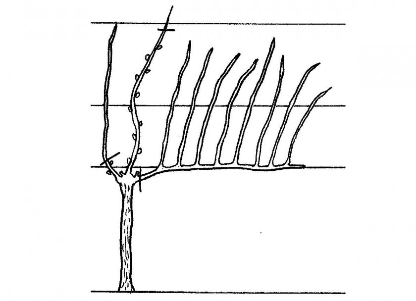 Вертикальный отводок винограда