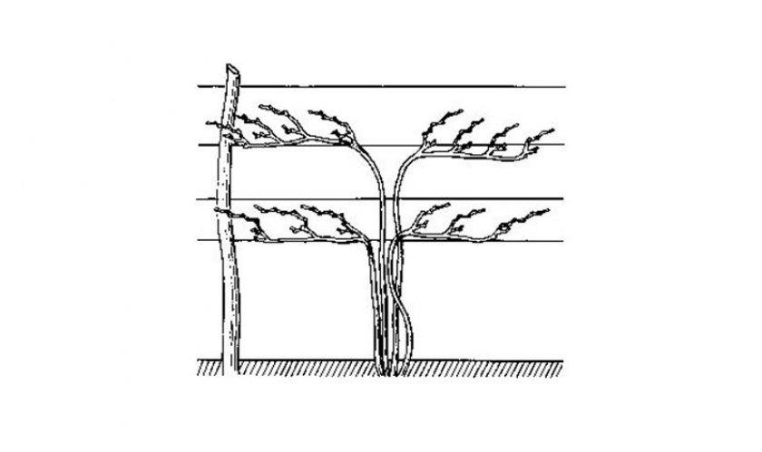 Горизонтальный отводок винограда