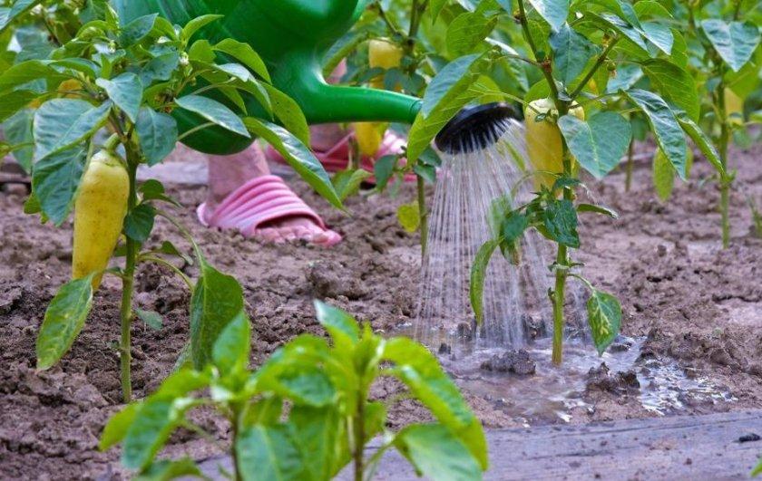 Ручной полив перца в теплице