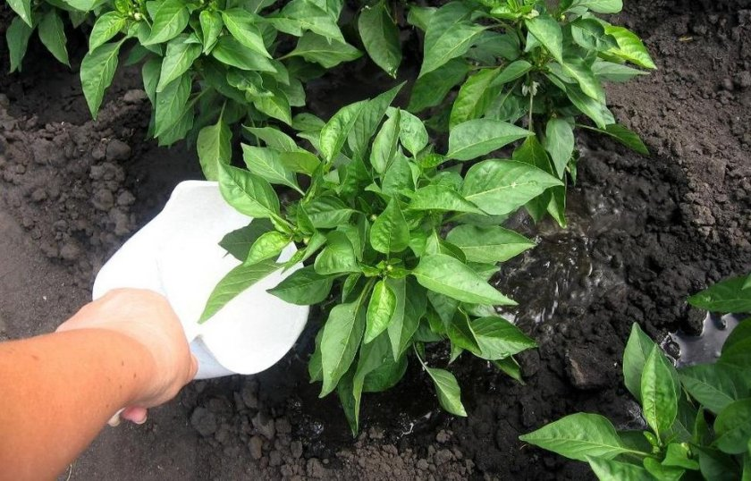 Как сочетать полив и внесение удобрений
