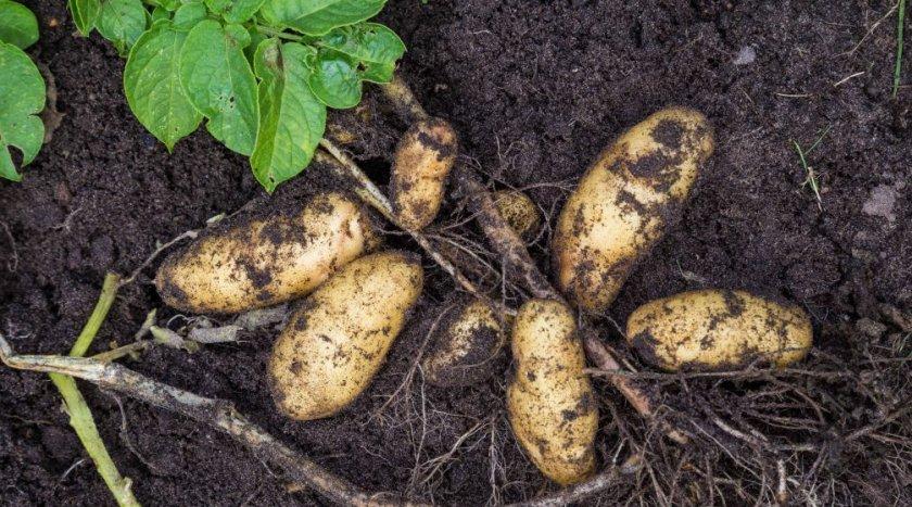 Картофель сорта гранада