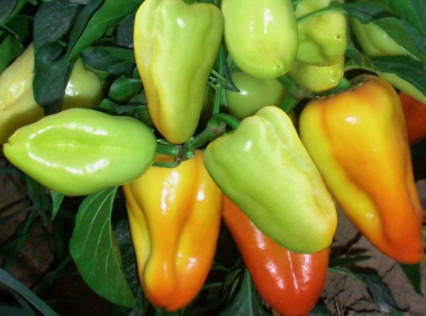 Перец сорта Буратино