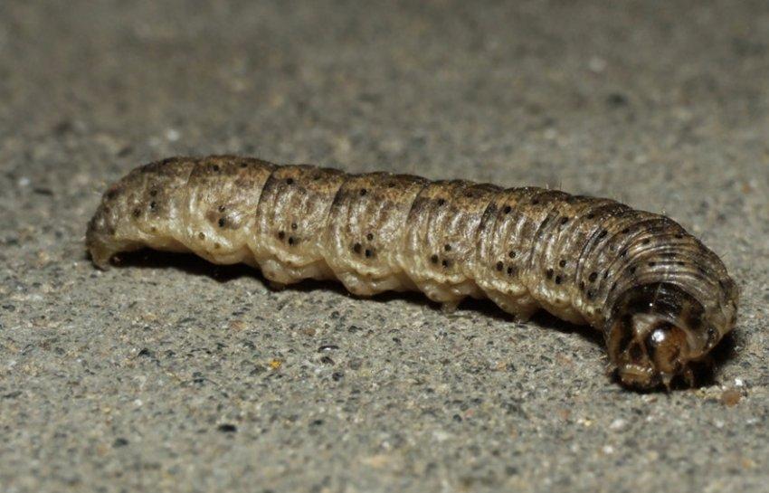 Восклицательная гусеница