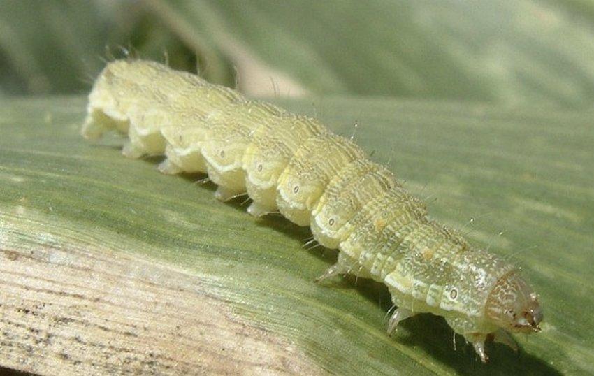 Хлопковая гусеница