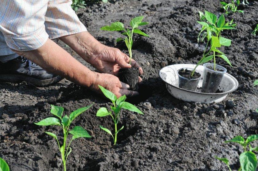 Высаживание рассады в почву