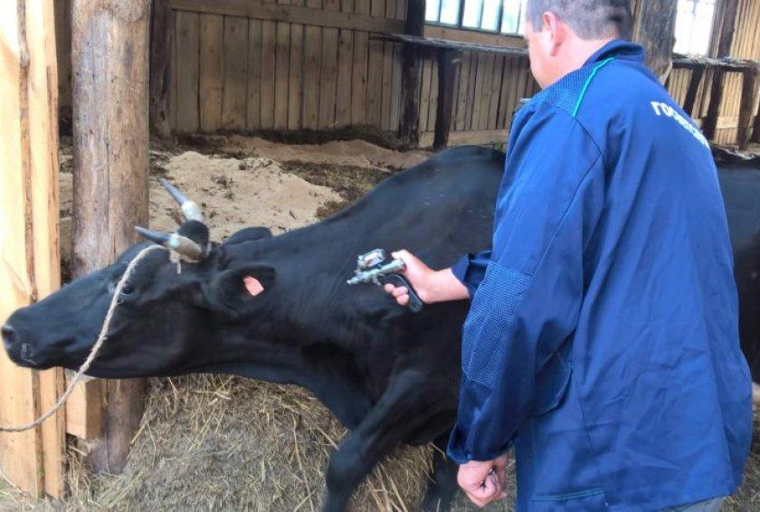 Лечение пастереллёза крупного рогатого скота