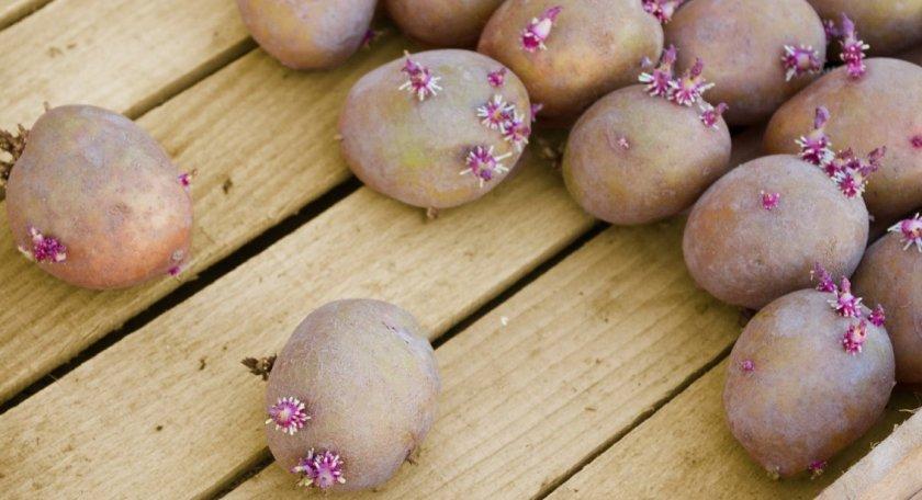 Сухое проращивание картофеля