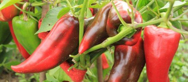 Перец Воловье ухо сладкий любимец огородников