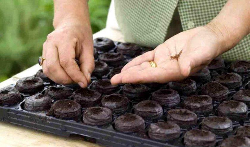 Высадка семян перца в торфяные таблетки