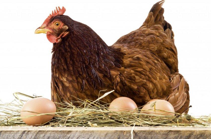 Курица-наседка