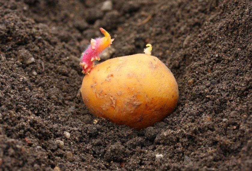 Высадка картофеля