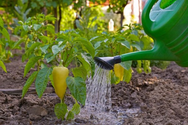 как часто поливать перец