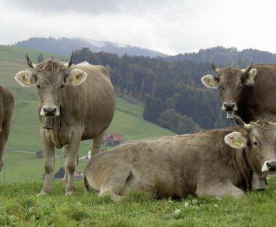 Корова швицкой породы: описание, уход и кормление