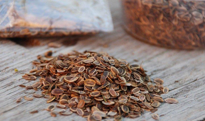 лечение поджелудочной семенами укропа